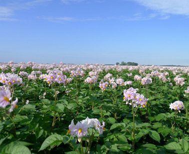 Als de aardappelvelden in bloei staan…
